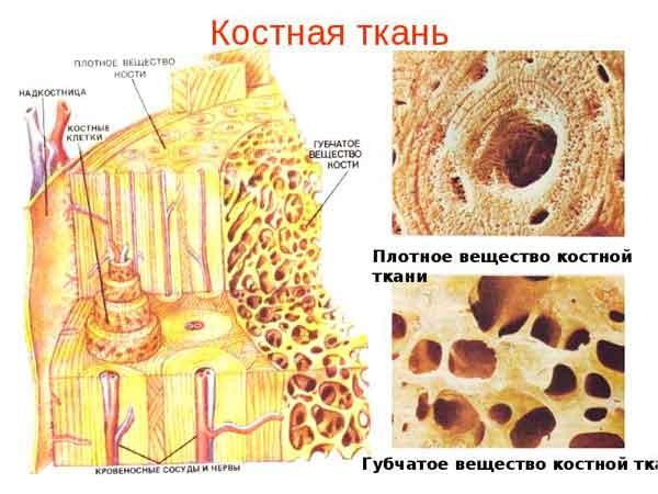 Основа быстрого образования костной ткани при переломе руки