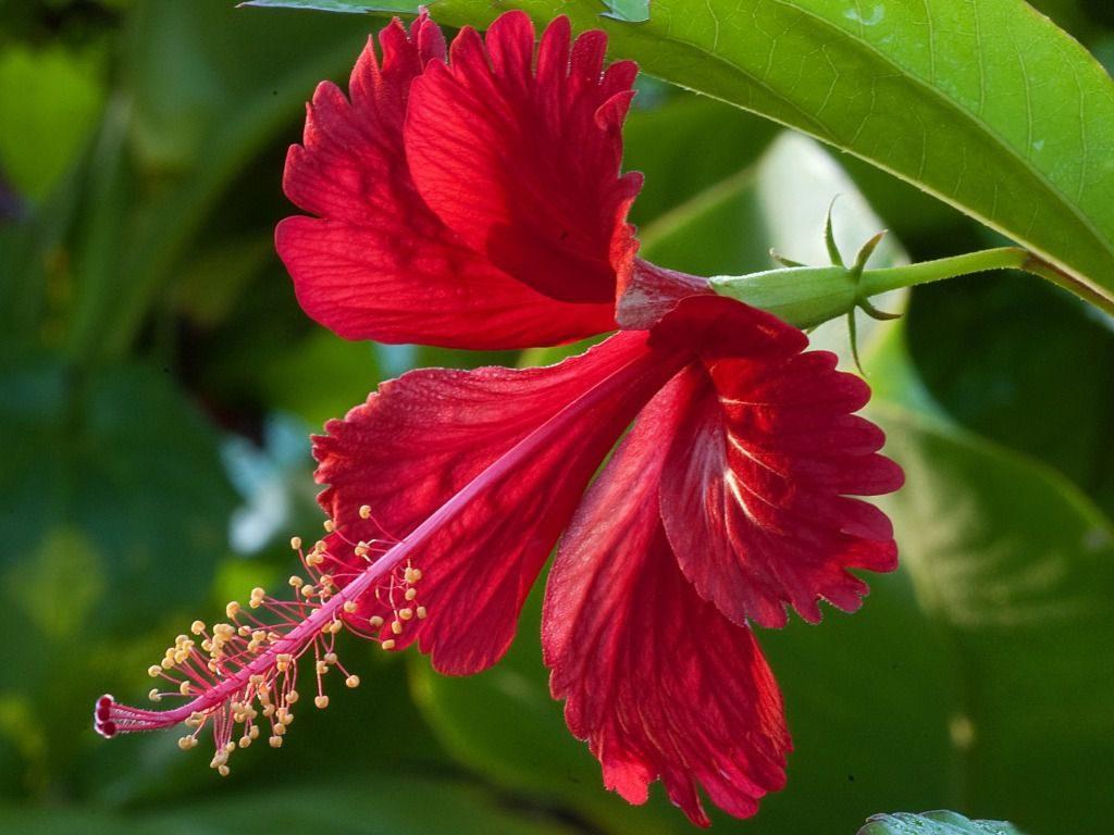 Суданская роза - полезные свойства и вред растения