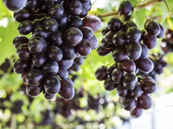Черный виноград- в чем польза продукта для организма