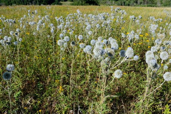 Мордовник - лекарственное растение и применение в лечебных целях