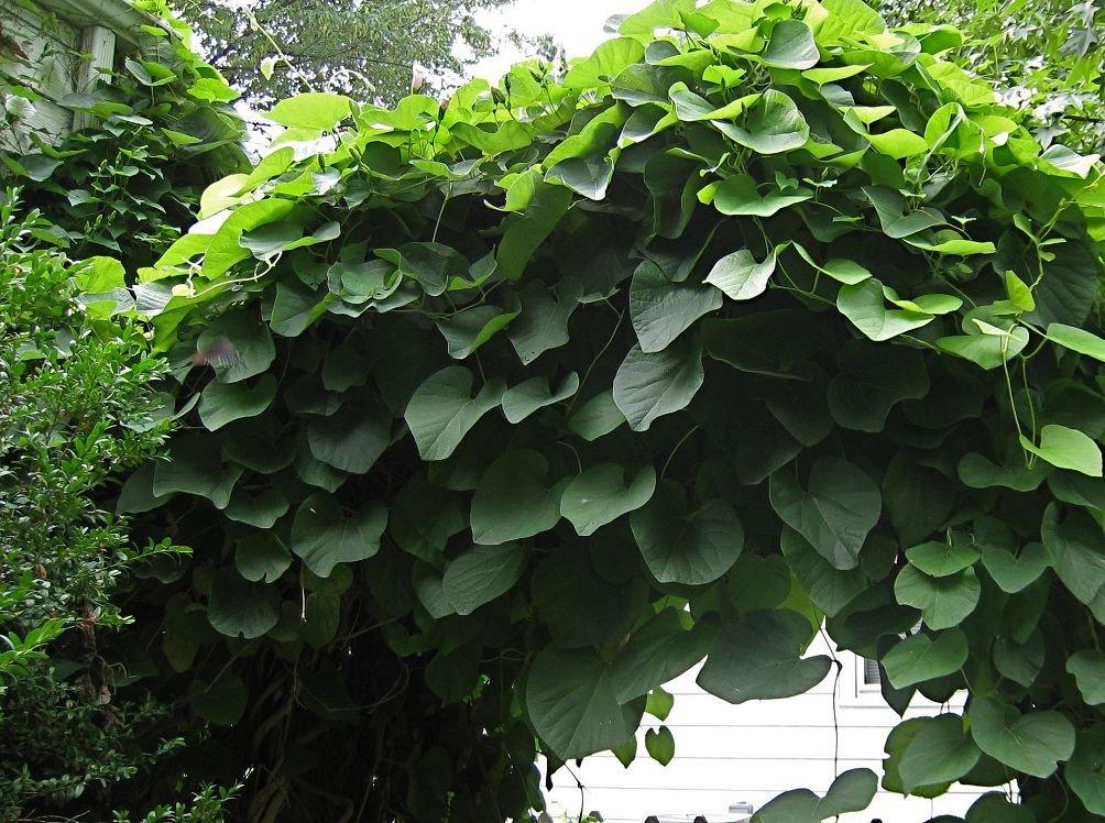 Кирказон - лекарственные свойства лечебного растение