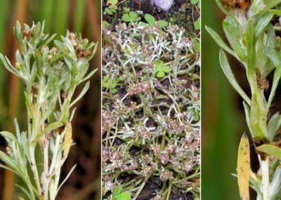 Сушеница - применение травы в народной и традиционной медицине