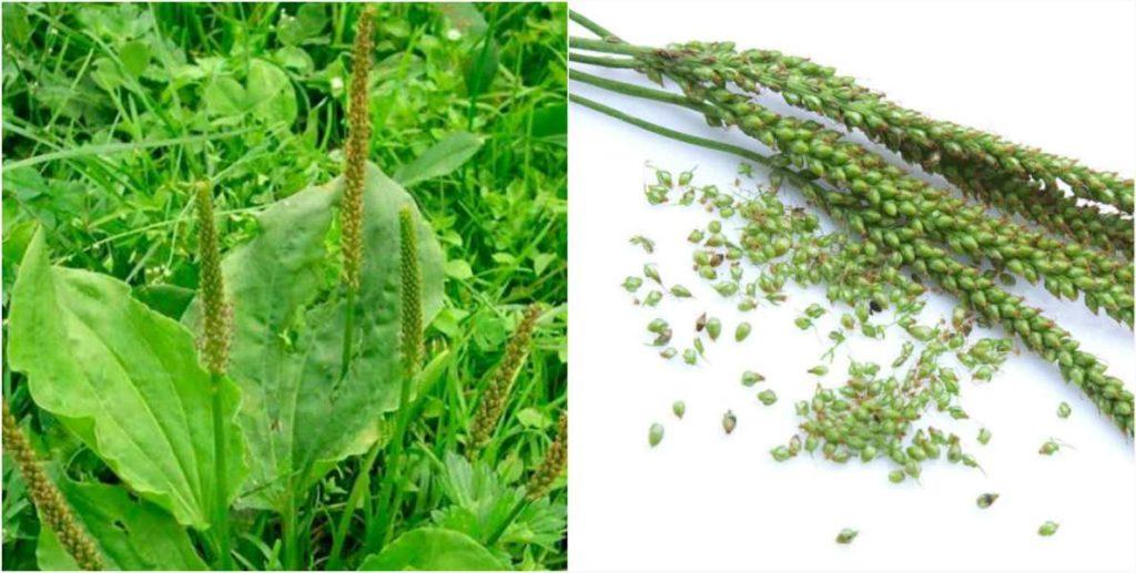 Семена подорожника - свойства и польза для организма