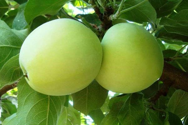 Как сварить яблочный компот из свежих яблок